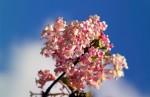Pink Viburnam on blue sky